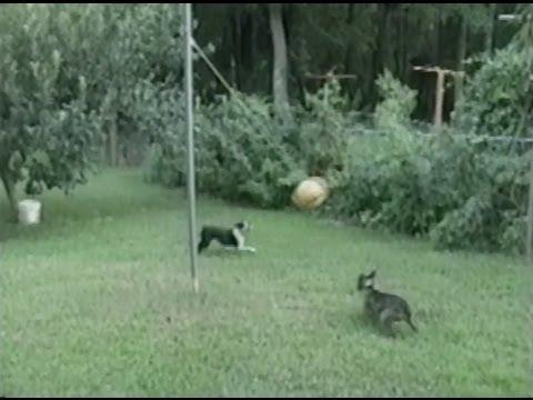 cani-che-giocano-a-pallavolo