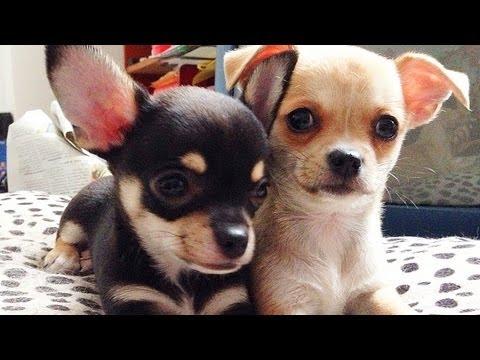 Chihuahua!   ismi