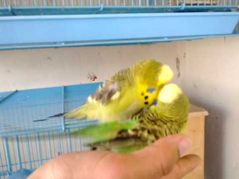 Budgie Mating.mp4