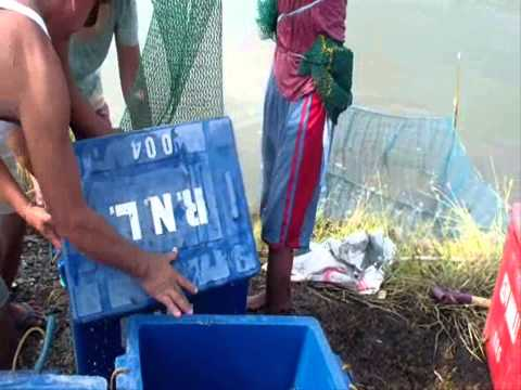 RNL Fish Pond: Shrimp Harvesting and Marketing