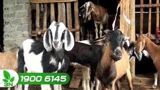 Chăn nuôi dê   Thời điểm bổ sung canxi cho dê nái thích hợp nhất