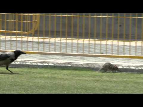 Krähe gegen Ratte