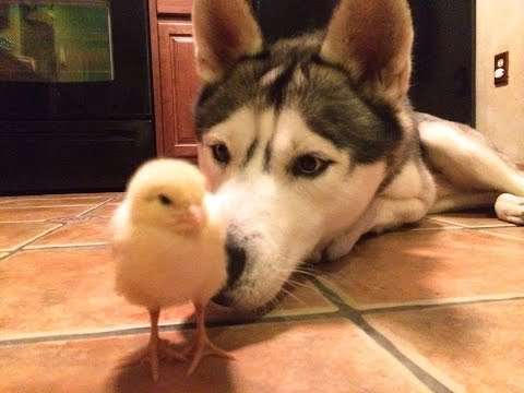 Husky and Baby Chick!? (Best Friends!) (видео)