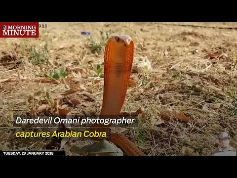 Daredevil Omani photographer captures Arabian Cobra