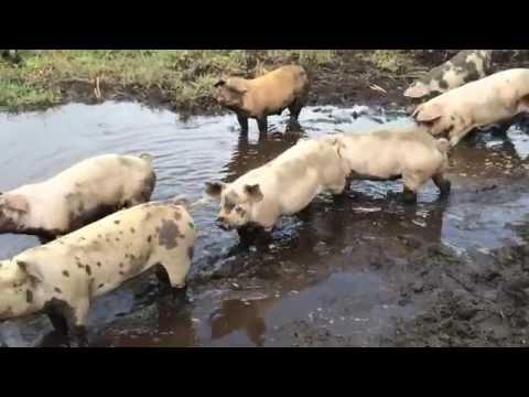 鹿児島放牧豚 えこふぁーむから考えるTPP農業と食問題    〜豚さんにも夢見る人生(豚生)がある〜