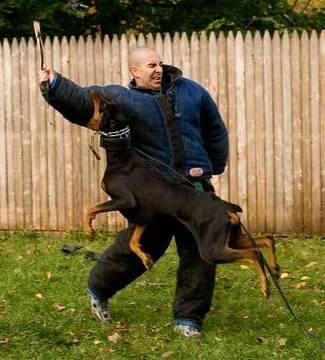 dog training - Dog Training. How to train a dog to attack. guard dog breeds are being trained to attack and protect using muzzles, hidden sleeve training, dog bite suits, a...