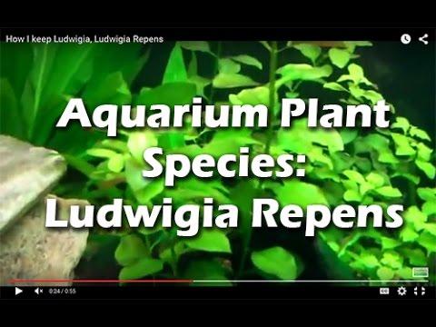 How I keep Ludwigia, Ludwigia repens. Species Sunday's