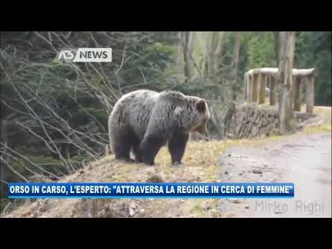 17/09/2020 - ORSO IN CARSO, L'ESPERTO: 'ATTRAVERSA LA REGIONE IN CERCA DI FEMMINE'