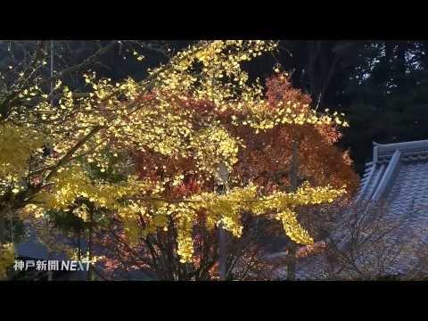 境内は秋のじゅうたん 常隆寺