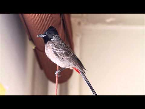 Video Red-vented Bulbul download in MP3, 3GP, MP4, WEBM, AVI, FLV January 2017