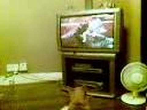 chihuahua barking at tv