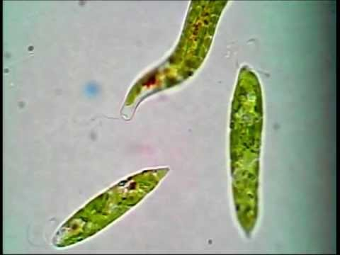 euglena research paper