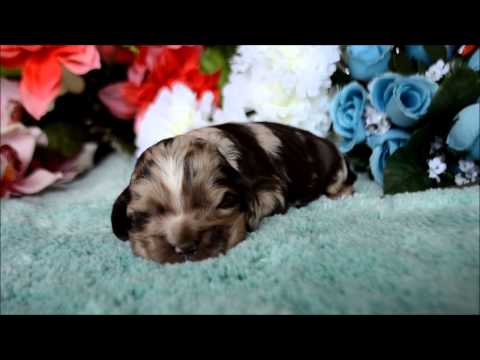 Devon AKC Chocolate Merle Male Cocker Spaniel Puppy for sale