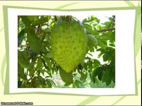 Graviola Soursop – Is Soursop The Most Effective Immune System Booster and Natural Cancer Cure?