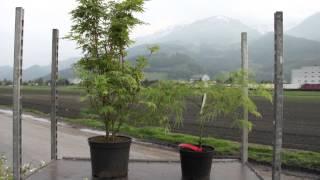 #680 Der richtige Standort für Fächerahorn - Acer palmatum