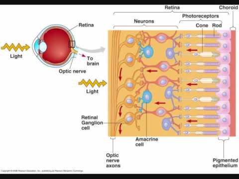 Retina - Describes in a bit of detail the retina of the human (vertebrate) eye.