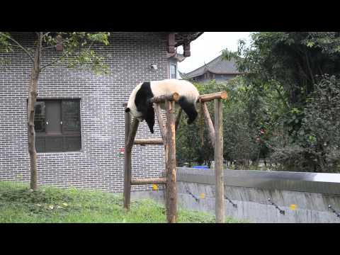 lazy panda - Lazy panda in a Sichuan park in China. Filmed during a China trip 2012. You can check my other panda videos if you like this one.