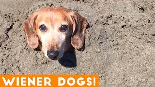 Nonton Funniest Dachshund Wiener Dog Compilation 2019 | Funny Pet Videos Film Subtitle Indonesia Streaming Movie Download