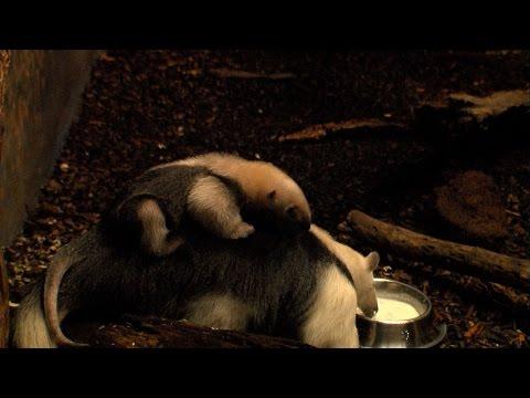 Zoo Frankfurt: Ameisenbär Nachwuchs im Frankfurter Zo ...