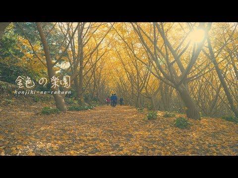 『金色の楽園』垂水千本イチョウ2018