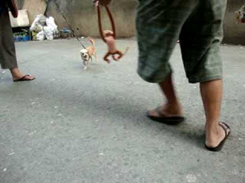 Chihuahua playing
