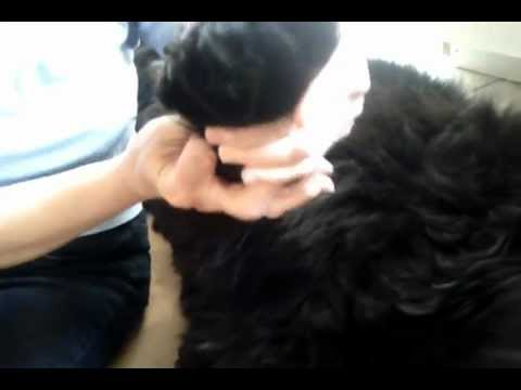 Dog Grooming Tips – Pedicure for Newfies (Part 4)
