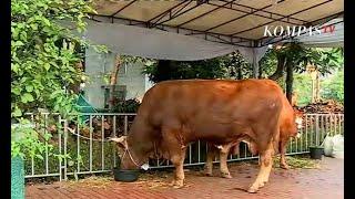 Video Jokowi Berkurban Sapi Limosin 1,7 Ton di Masjid Istiqlal MP3, 3GP, MP4, WEBM, AVI, FLV Agustus 2019