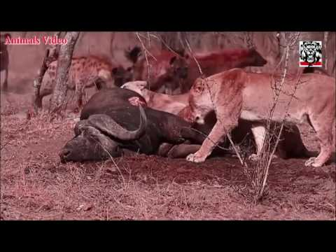 Lion vs Hyena Interaction   Lion attack Hyena for Stealing Food
