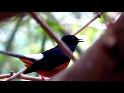 Wild Shama singing เสียงนกกางเขนดงร้องในป่า 1/2