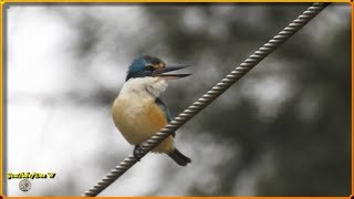 6~Bird Calls~Sacred Kingfisher / Bird Watching in My Backyard