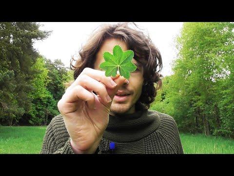 Essbare Blüten, Cannabisersatz Und Wildkräuter Sammeln Mitte Mai 2020-  Dicke Blätter, Raue Blätter