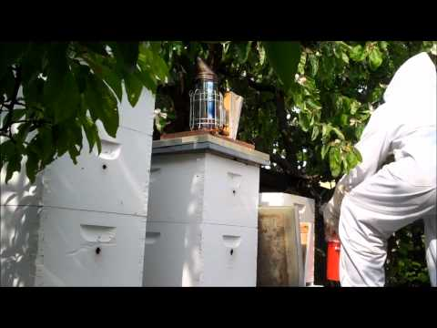 Honey Bee Swarm: From Tree to Apiary