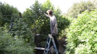 2017 outdoor grow norcal another part of the garden by Emerald Coast 420