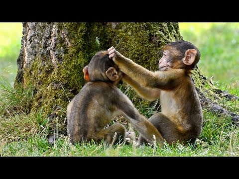 Funny Monkey Babies - Playing Like Little Imps!