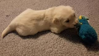 AKC English Cream Golden Retriever puppies availab