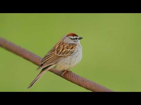 Chipping Sparrow Trilling