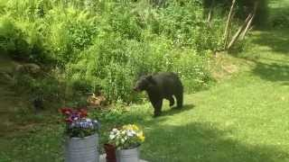 Video Little Gray Cat vs Black Bear New Hampshire MP3, 3GP, MP4, WEBM, AVI, FLV Mei 2017