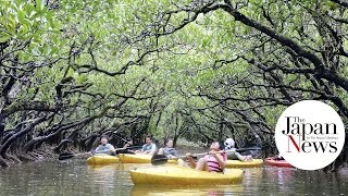 Amami Island Japan  City pictures : Amami Island mangrove forest in The Japan News