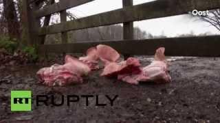 Nieznani sprawcy przywitali uchodźców świńskimi głowami