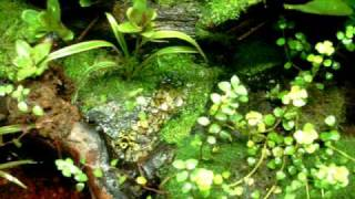 Poison Dart Frog vivarium with leucomelas