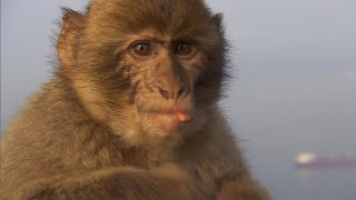 A novel effort is underway to protect some of the most famous monkeys in the world, the Barbary macaques on the Gibraltar ...