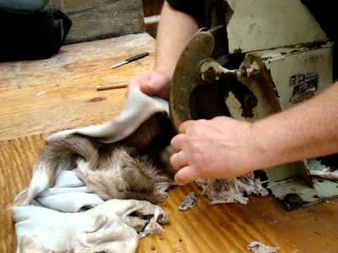 Shaving deer cape