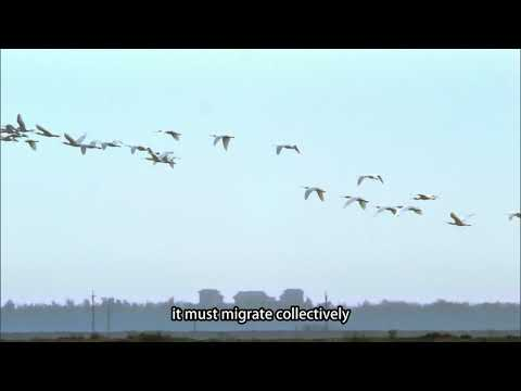 【Taijiang】The Passenger in the Wind - the Black-faced Spoonbill (3mins ver.)