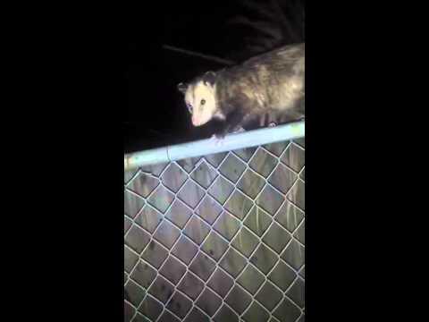 Guy talks shit to an opossum