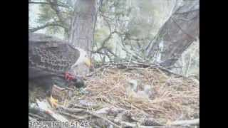 Feeding of the eaglet at the Harrison Bay Eagle Cam Project on 3/25/13