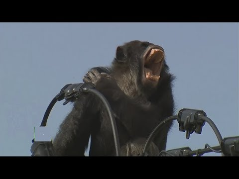 Big Chimpanzee electrocuted