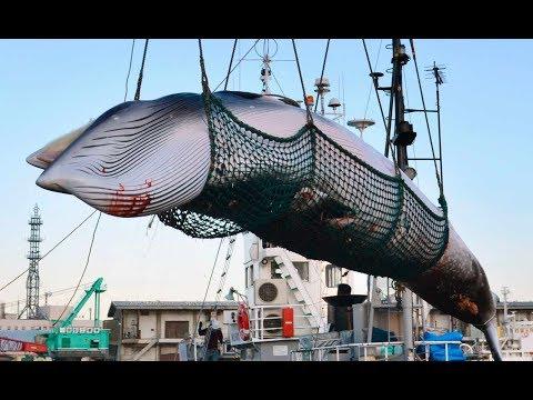 Japan: Austritt aus Komission - Walfangflotten wollen wieder kommerziell Wale fangen