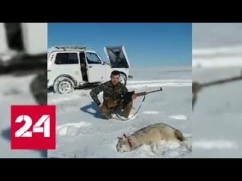 Подстреленный волк набросился на охотника - Россия 24