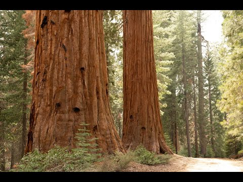Giants of a Changing Landscape, Sequoiadendron giganteum