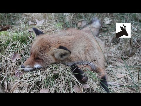 Shooting fox with .308 - Polowanie na lisa - Foxing - Fuchsjagd - Chasse au renard - Rävjakt 2017
